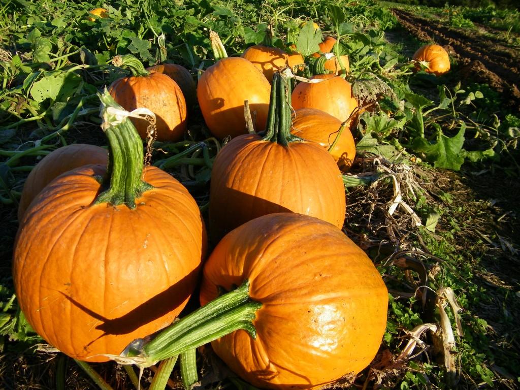 local pumpkin patch, fall pumpkin, pumpkin picking, pumpkin farm, pumpkin patches, pumpkin patch, pick your own pumpkins, pumpkin farming, pumpkin picking in maryland