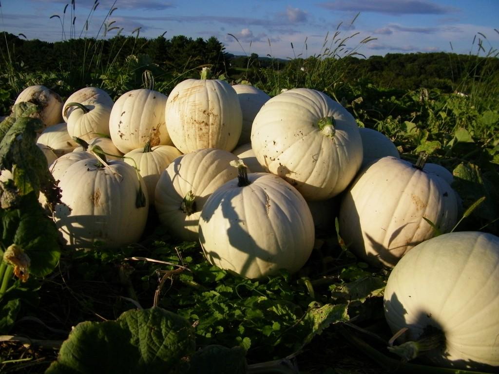 community supported agriculture, Eldersburg, Hampstead, Carroll County, vegetable delivery, Baltimore, Maryland, Littlestown, PA, Sykesville, Eldersburg, Mt. Airy, Germantown